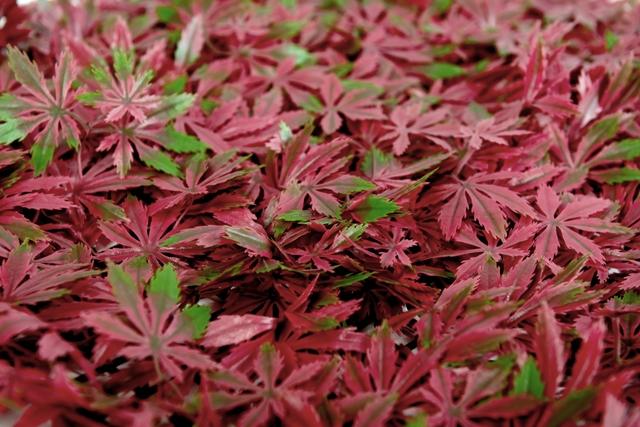 Sztuczny żywopłot klon o intensywnych odcieniach czerwieni z zielonymi akcentami.